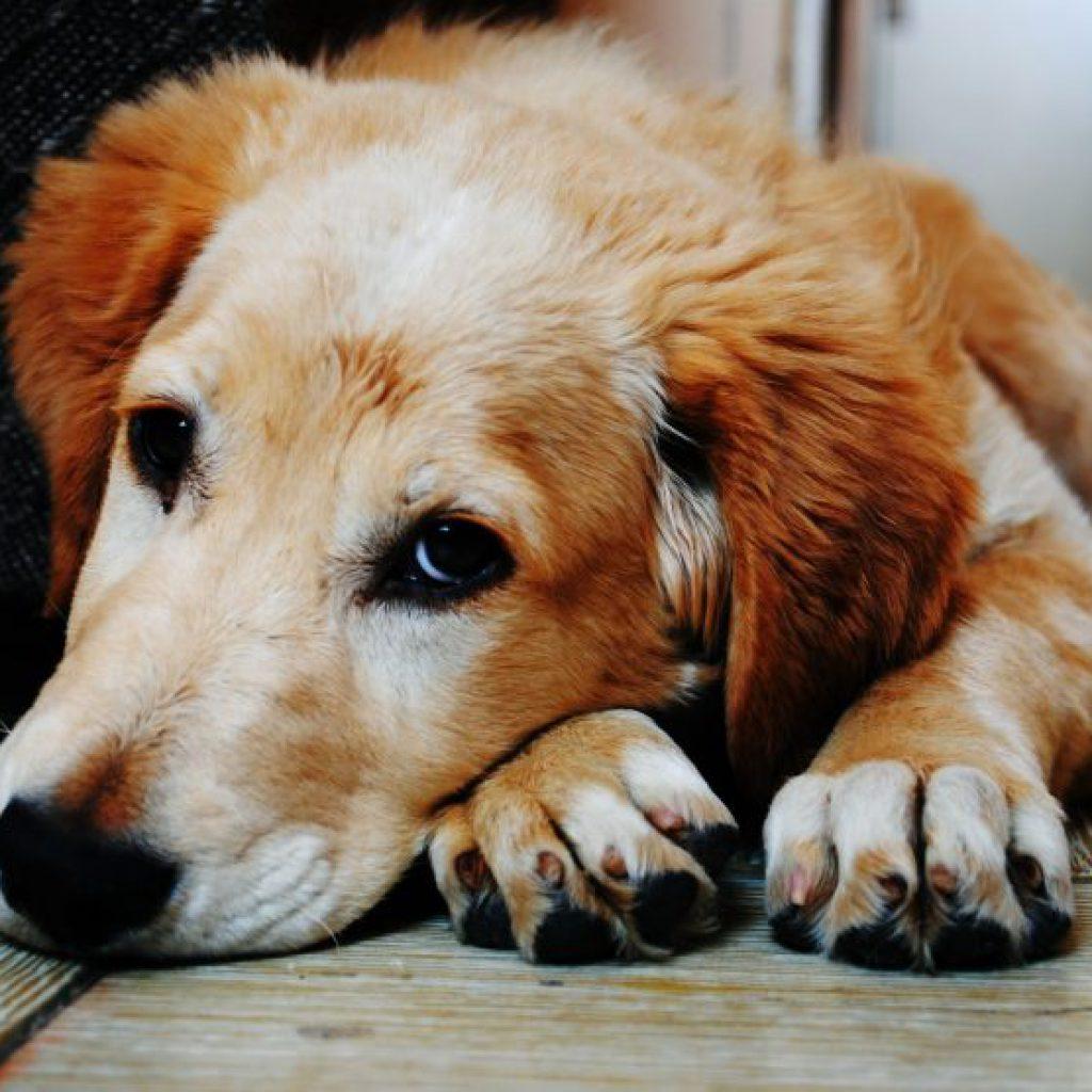 perro-adulto-triste-830×556