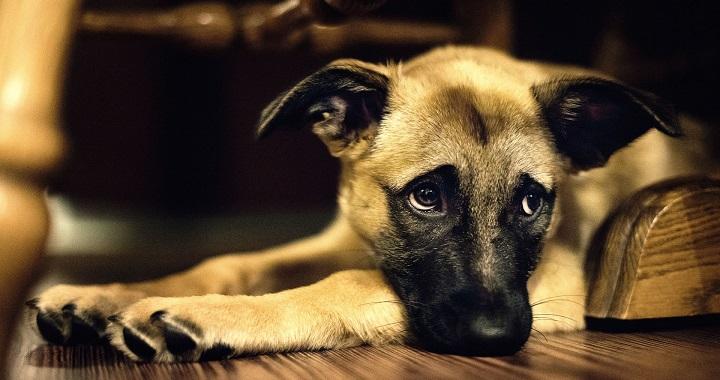 Señales Y Síntomas De Dolor En El Perro Praxia Clínica Veterinaria