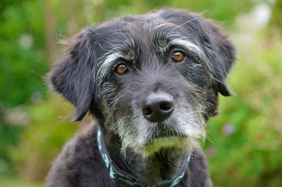 perro-mayor-senior