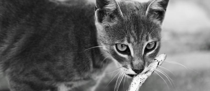 alimentos-peligrosos-gato-articulo