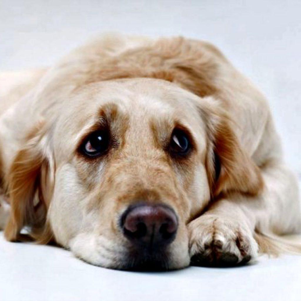 sintomas-de-la-depresion-en-perros