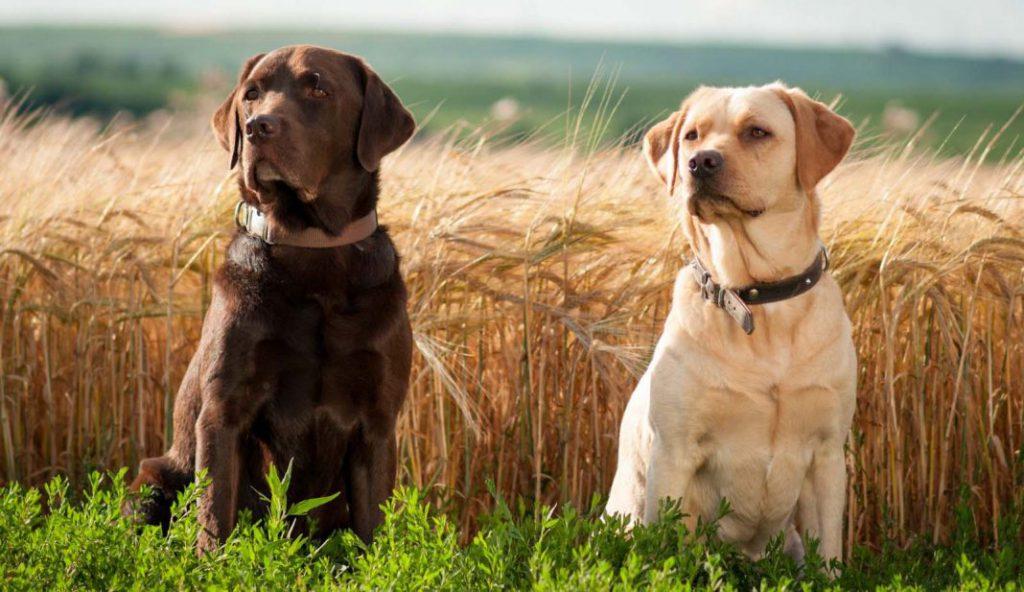 labrador-retriever-dogs