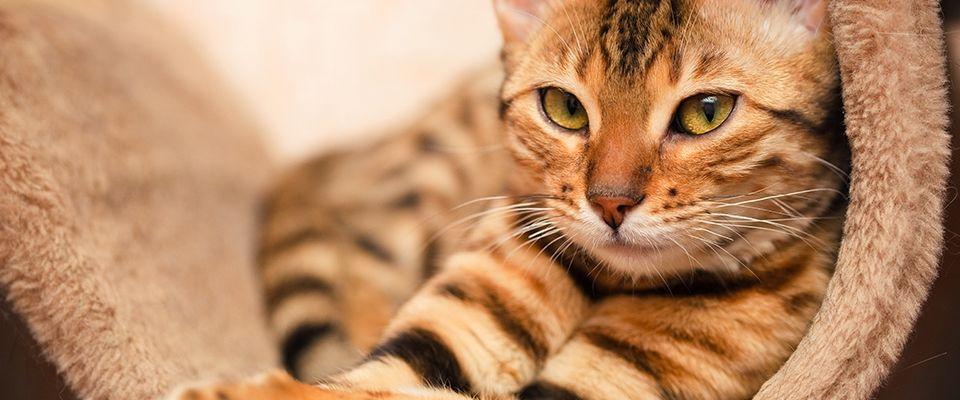 como-saber-si-un-gato-tiene-fiebre