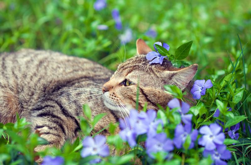 la-dermatofitosis-felina-o-tina-de-los-gatos